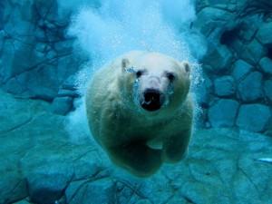 Postal: Buceando, cara a cara, con un oso polar
