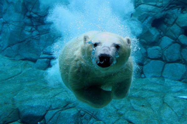 Buceando, cara a cara, con un oso polar