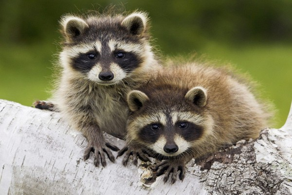 Dos mapaches
