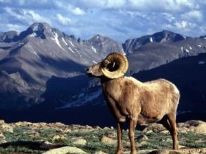 Postal: Cabra salvaje