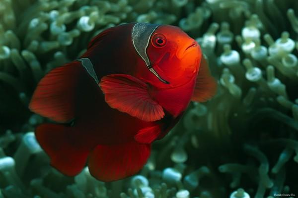 Un pez payaso de color rojo