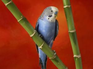 Periquito azul sobre una vara de bambú