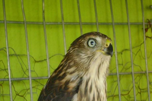 Águila enjaulada