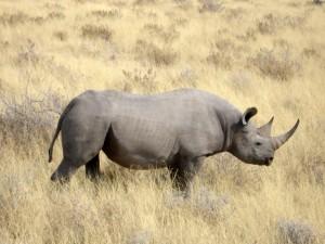 Rinoceronte negro en Namibia