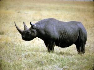 Rinoceronte negro, una especie en grave peligro de extinción