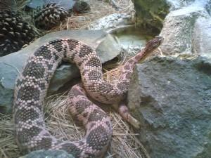 Serpiente de cascabel del Mohave (Crotalus scutulatus)