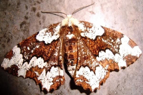 Polilla gigante blanca y marrón