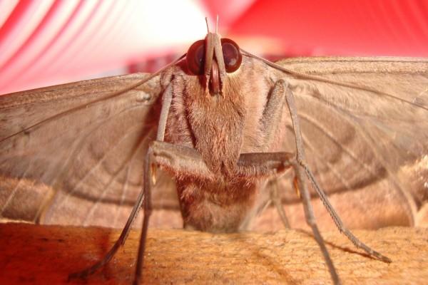 Polilla gigante de ojos rojos