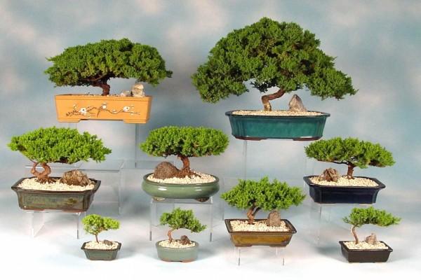 Colección de bonsáis