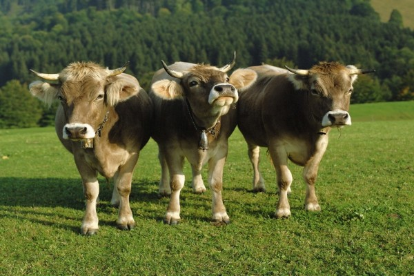 Vacas con cencerros