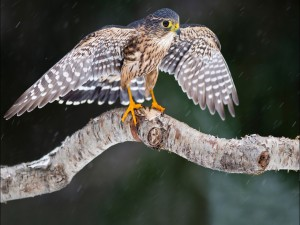 Pequeño halcón bajo la lluvia