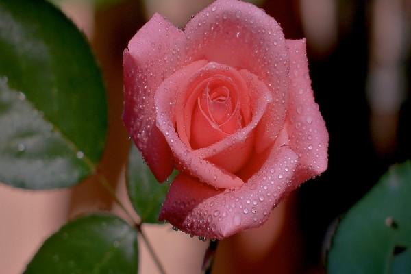 Capullo de rosa con gotitas de rocío