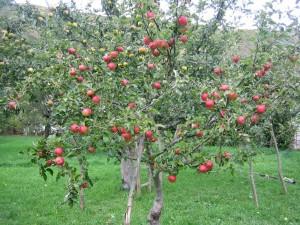 Postal: Manzano lleno de manzanas