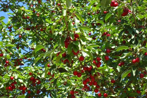 Cerezo lleno de cerezas