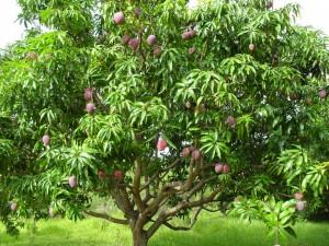 Postal: Arbol del mango (Mangifera indica)
