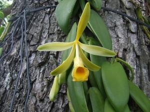 Flor de la vainilla (orquídea)