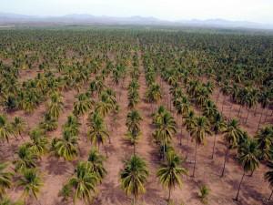 Postal: Plantación de cocoteros