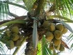 Cocos en el árbol