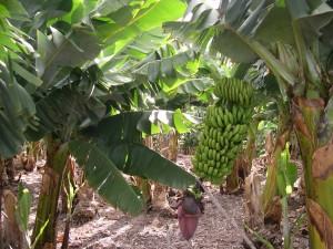 Postal: Racimo de plátanos (o bananas) en el árbol