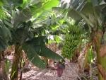 Racimo de plátanos (o bananas) en el árbol