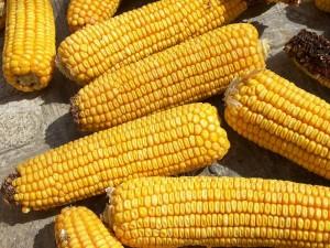 Postal: Mazorcas de maíz