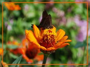 Mariposa negra sobre flor naranja