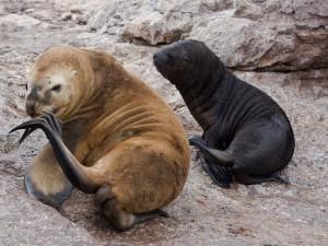 Postal: Leones marinos en una colonia en la Patagonia