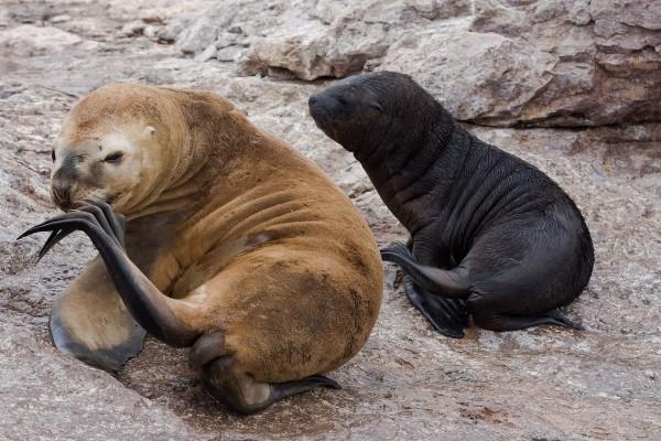 Leones marinos en una colonia en la Patagonia