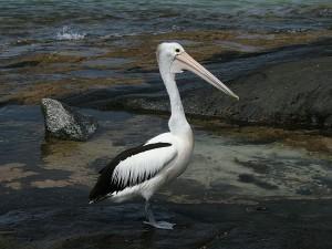 Pelícano australiano