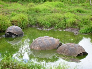 Tres grandes tortugas en una charca