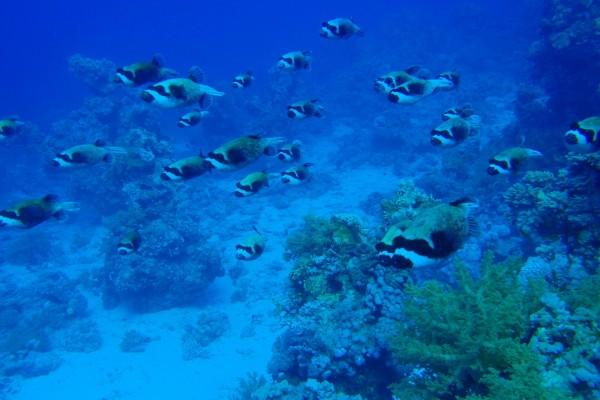 Grupo de peces enmascarados