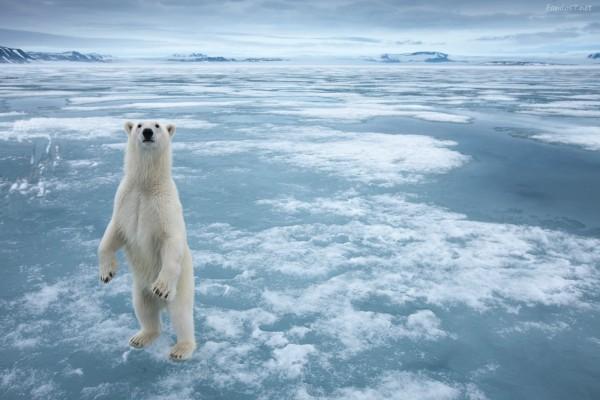 Oso polar de pie sobre un mar helado
