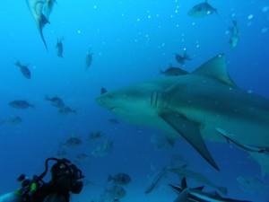 Buceando entre tiburones