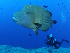 Postal: Buzo junto a un enorme pez