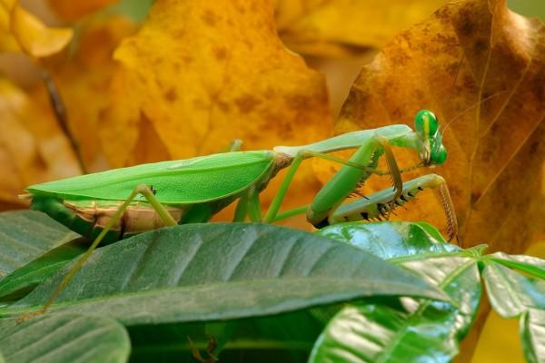 Mantis religiosa con forma de hoja verde