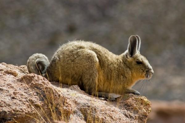 Vizcacha de la sierra o chinchillón (desierto de Sur Lípez, Bolivia)