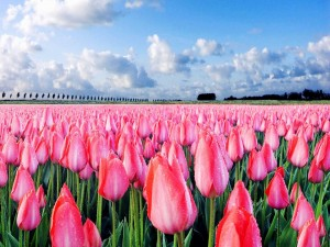Postal: Tulipanes rosas recién regados