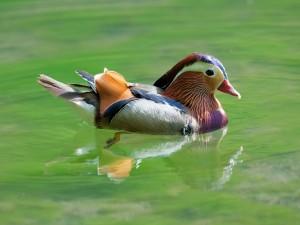 Postal: Pato mandarín (Aix galericulata)