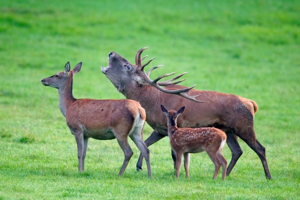 Familia de ciervos en el bosque de Freyr (Bélgica)