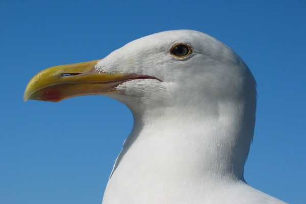 Gaviota occidental (Larus occidentalis)