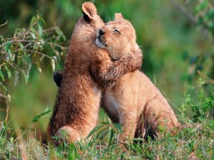 Postal: El abrazo de dos felinos (cachorros de león)