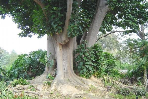 Árbol Ombú (Phytolacca dioica)
