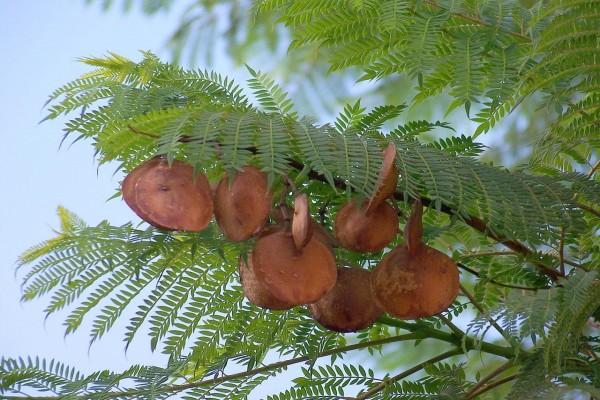 Frutos maduros del Jacaranda