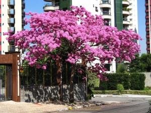 Postal: Tabebuia (lapacho) rosado en flor