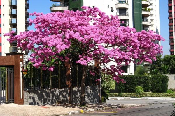 Tabebuia (lapacho) rosado en flor