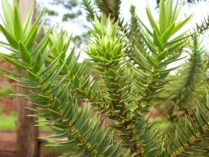 Hojas de la Araucaria angustifolia
