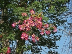 Ramas en flor de Ceiba Speciosa (palo borracho)