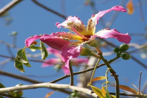 Flor de Ceiba speciosa