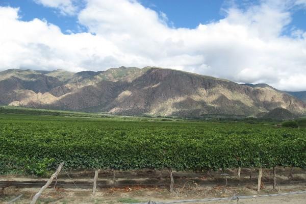 Viñedo cercano a Cafayate (Salta, Argentina)