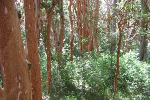 El bosque de Arrayanes, en el Parque Nacional Los Arrayanes (Argentina)